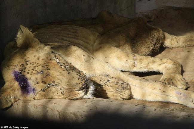 Xót xa hình ảnh chúa sơn lâm sư tử chỉ còn da bọc xương, đờ đẫn di chuyển trong vườn thú ở Châu Phi - ảnh 5