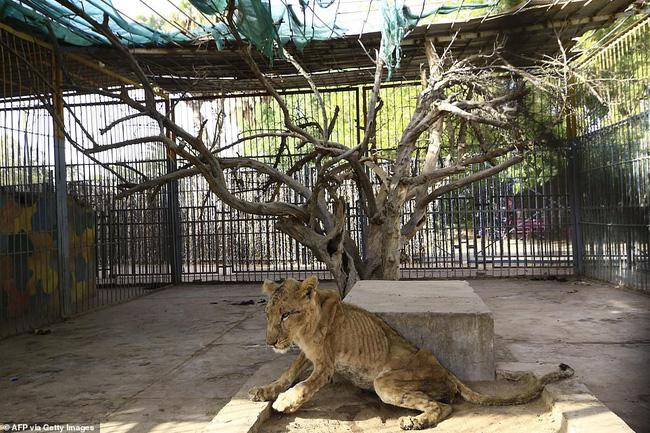 Xót xa hình ảnh chúa sơn lâm sư tử chỉ còn da bọc xương, đờ đẫn di chuyển trong vườn thú ở Châu Phi - ảnh 6