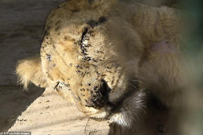 Xót xa hình ảnh chúa sơn lâm sư tử chỉ còn da bọc xương, đờ đẫn di chuyển trong vườn thú ở Châu Phi - ảnh 7