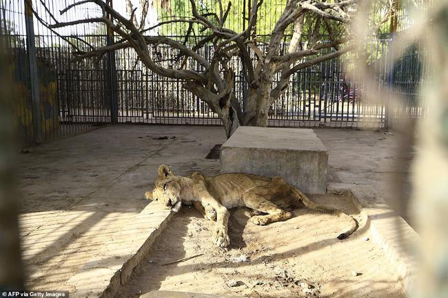 Xót xa hình ảnh chúa sơn lâm sư tử chỉ còn da bọc xương, đờ đẫn di chuyển trong vườn thú ở Châu Phi - ảnh 8