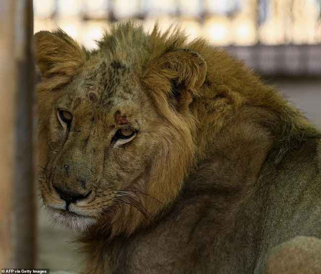 Xót xa hình ảnh chúa sơn lâm sư tử chỉ còn da bọc xương, đờ đẫn di chuyển trong vườn thú ở Châu Phi - ảnh 10