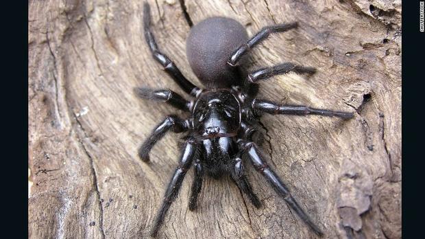 Hết cháy đại thảm họa đến lũ lụt, giờ nước Úc giờ tiếp tục phải hứng chịu cơn mưa nhện độc nguy hiểm nhất hành tinh - Ảnh 2.