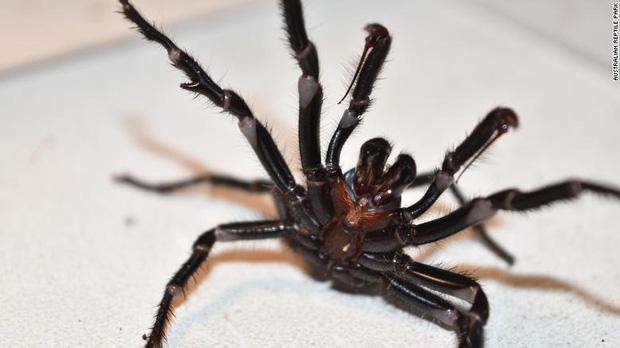 Hết cháy đại thảm họa đến lũ lụt, giờ nước Úc giờ tiếp tục phải hứng chịu cơn mưa nhện độc nguy hiểm nhất hành tinh - Ảnh 4.