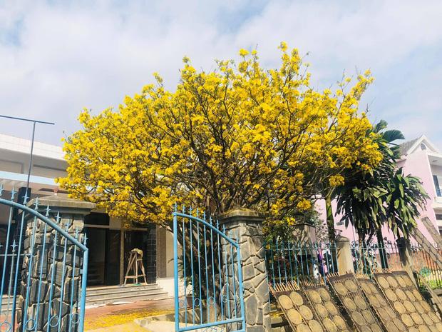 Cây mai bung nở rực rỡ, nhuộm vàng một góc trời trong dịp Tết khiến nhiều người trầm trồ - Ảnh 2.