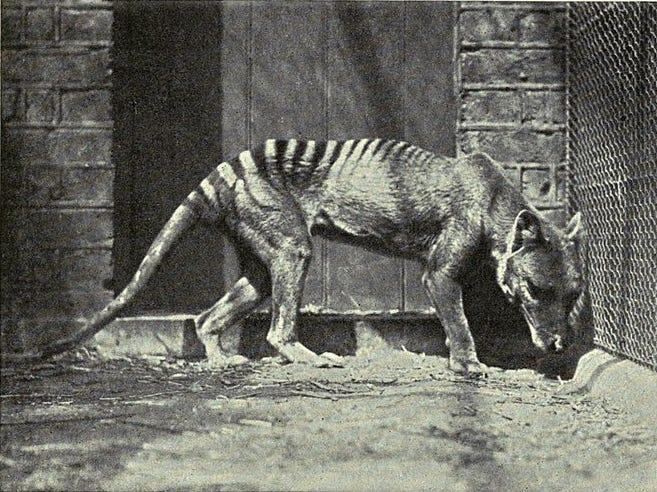 Cứ ngỡ đã tuyệt chủng từ những năm 1930, nhưng có lẽ hổ Tasmania vẫn còn tồn tại đâu đó ngoài kia - Ảnh 3.