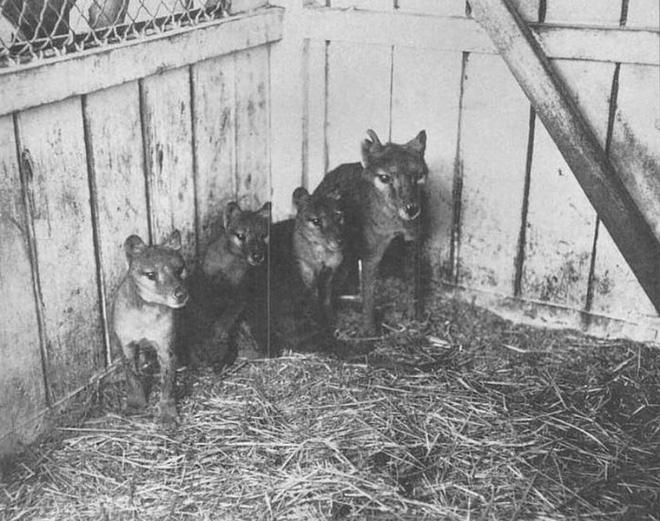 Cứ ngỡ đã tuyệt chủng từ những năm 1930, nhưng có lẽ hổ Tasmania vẫn còn tồn tại đâu đó ngoài kia - Ảnh 5.