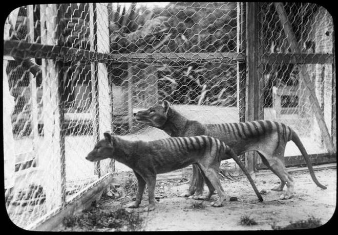 Cứ ngỡ đã tuyệt chủng từ những năm 1930, nhưng có lẽ hổ Tasmania vẫn còn tồn tại đâu đó ngoài kia - Ảnh 7.