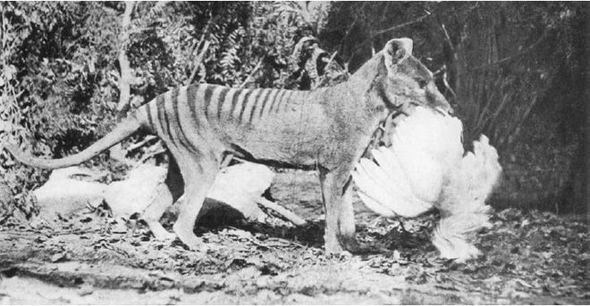 Cứ ngỡ đã tuyệt chủng từ những năm 1930, nhưng có lẽ hổ Tasmania vẫn còn tồn tại đâu đó ngoài kia - Ảnh 9.