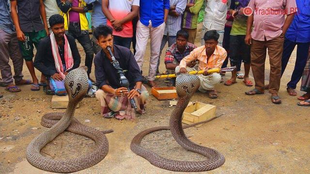 Giải mã bí mật đằng sau màn ảo thuật điều khiển rắn hổ mang bằng kèn của phù thủy rắn Ấn Độ - Ảnh 5.