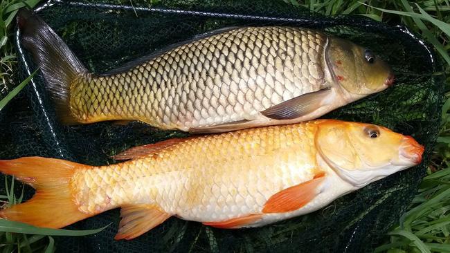 Loại cá cực tốt để bồi bổ, dưỡng nhan cho phụ nữ thường được dùng nhiều vào dịp Tết còn là thuốc quý trong Đông y - Ảnh 4.