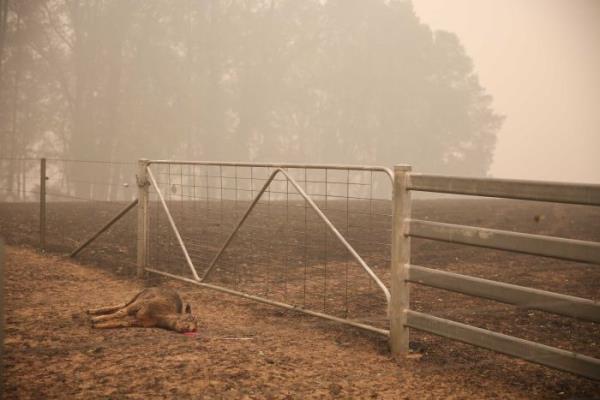 Ảnh: Đau đớn 'cái chết câm lặng' của hàng trăm triệu động vật trong cháy rừng Australia - Ảnh 11.