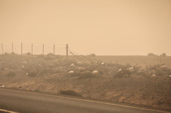 Ảnh: Đau đớn 'cái chết câm lặng' của hàng trăm triệu động vật trong cháy rừng Australia - Ảnh 13.
