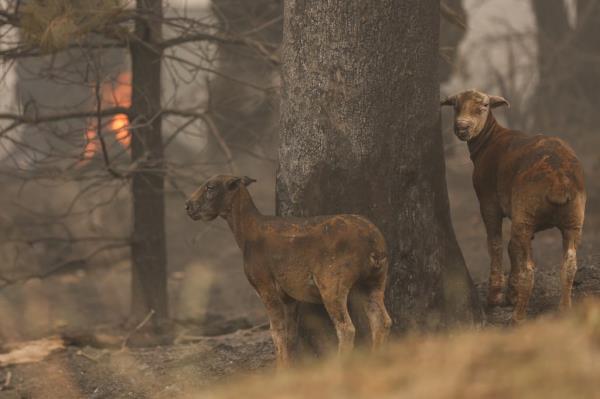 Ảnh: Đau đớn 'cái chết câm lặng' của hàng trăm triệu động vật trong cháy rừng Australia - Ảnh 14.
