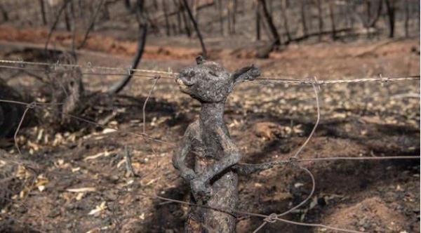 Ảnh: Đau đớn 'cái chết câm lặng' của hàng trăm triệu động vật trong cháy rừng Australia - Ảnh 3.