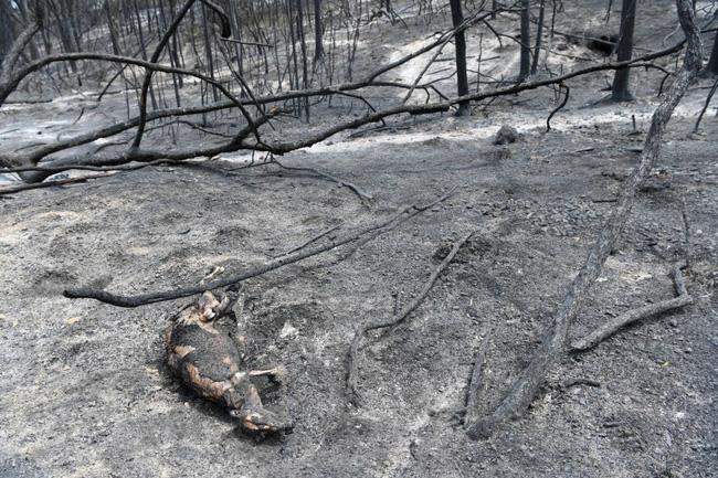 Khoảnh khắc chú chuột túi nhỏ mình đầy vết thương, ánh mắt cầu xin con người hãy giúp đỡ sau thảm họa cháy rừng ở Úc gây chấn động - Ảnh 4.