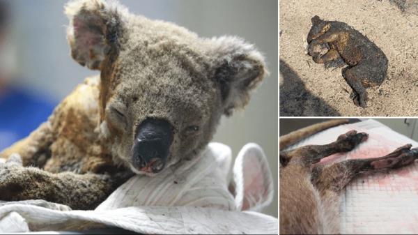 Ảnh: Đau đớn 'cái chết câm lặng' của hàng trăm triệu động vật trong cháy rừng Australia - Ảnh 4.