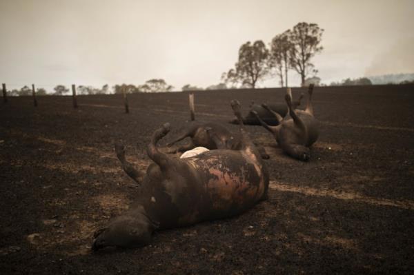 Ảnh: Đau đớn 'cái chết câm lặng' của hàng trăm triệu động vật trong cháy rừng Australia - Ảnh 5.