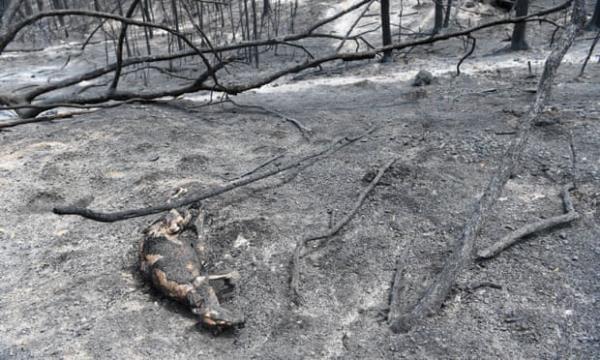 Ảnh: Đau đớn 'cái chết câm lặng' của hàng trăm triệu động vật trong cháy rừng Australia - Ảnh 7.