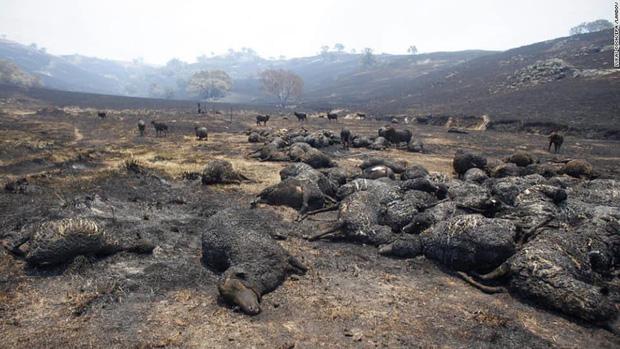 Gần NỬA TỈ sinh vật bị thiêu rụi, 1/3 số gấu Koala chết cháy: Úc đang trải qua trận cháy rừng 'đại thảm họa' thực sự mà chưa nhìn thấy lối thoát - ảnh 8