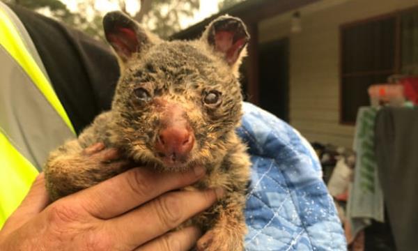 Ảnh: Đau đớn 'cái chết câm lặng' của hàng trăm triệu động vật trong cháy rừng Australia - Ảnh 10.