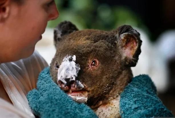 Các loài vật 'bị nấu chín tới chết' trong thảm họa cháy rừng ở Australia - ảnh 10