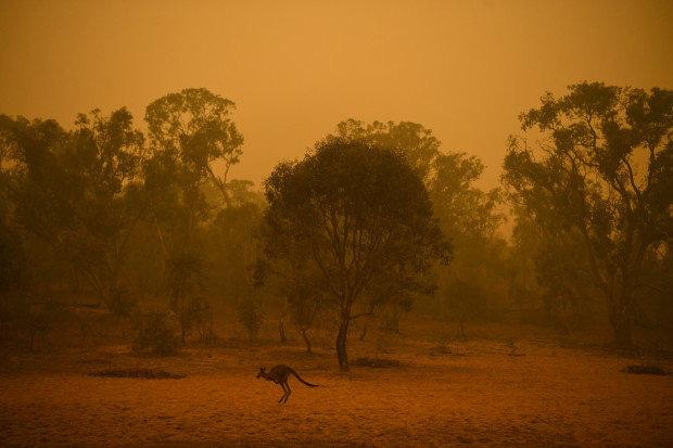 Các loài vật 'bị nấu chín tới chết' trong thảm họa cháy rừng ở Australia - ảnh 11