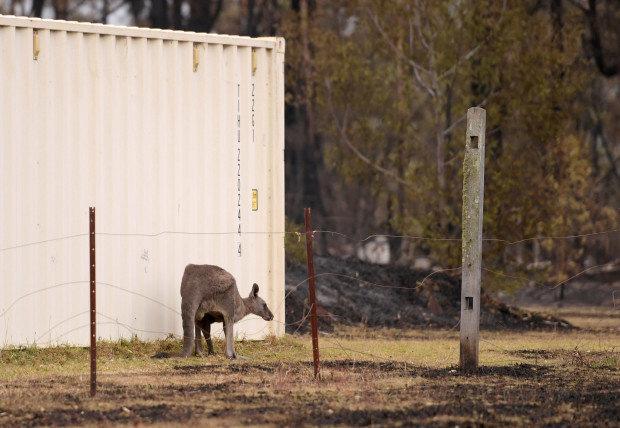 Các loài vật 'bị nấu chín tới chết' trong thảm họa cháy rừng ở Australia - ảnh 12