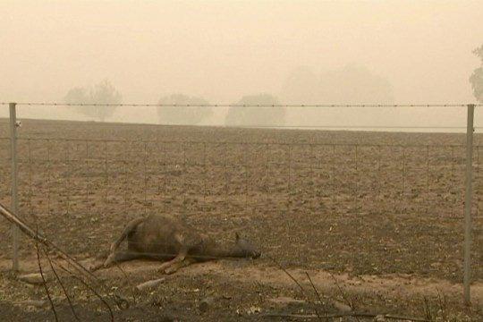 Các loài vật 'bị nấu chín tới chết' trong thảm họa cháy rừng ở Australia - ảnh 2