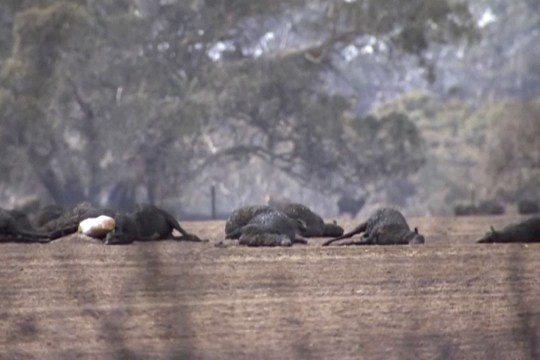 Các loài vật 'bị nấu chín tới chết' trong thảm họa cháy rừng ở Australia - ảnh 3