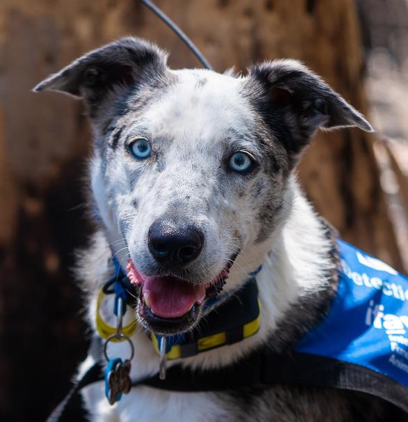 Chú chó anh hùng gây xôn xao cộng đồng mạng khi sở hữu siêu năng lực giúp giải cứu gấu koala gặp nạn trong thảm họa cháy rừng ở Úc - Ảnh 1.