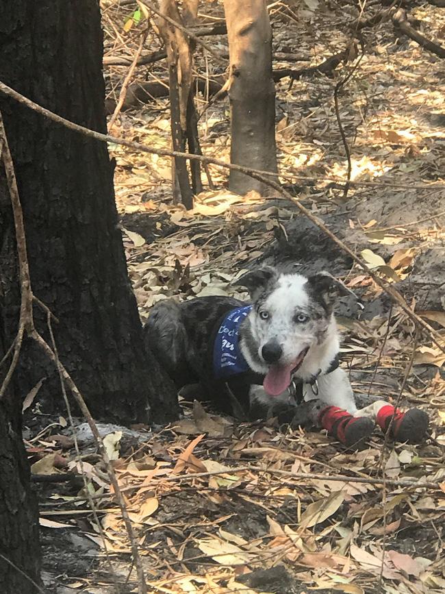 Chú chó anh hùng gây xôn xao cộng đồng mạng khi sở hữu siêu năng lực giúp giải cứu gấu koala gặp nạn trong thảm họa cháy rừng ở Úc - Ảnh 3.