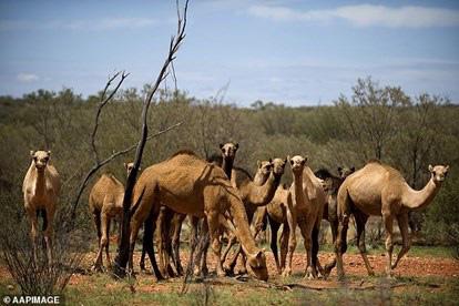 Nguyên nhân khiến hơn 10.000 con lạc đà ở Australia sẽ bị tiêu diệt trong vòng 5 ngày - Ảnh 1.