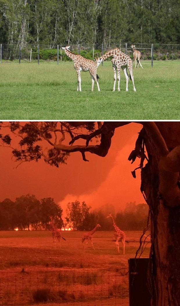 Chùm ảnh đau lòng: Nước Úc trước và sau khi ngọn lửa hung tàn quét qua - Ảnh 4.