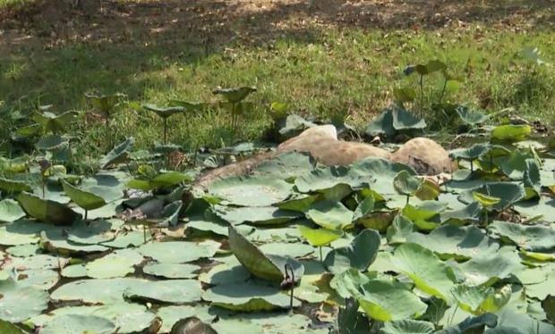 Hươu cao cổ tại sở thú Thái Lan xổng chuồng chạy trốn tới chân trời tự do rồi... té ngã xuống ao chết đuối - Ảnh 3.