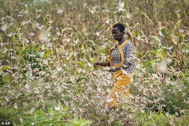 Chưa hết hạn hán, lũ lụt chồng chất, người dân Châu Phi đang phải hứng chịu nạn châu chấu di cư đẩy hàng chục triệu người vào cảnh chết đói - Ảnh 5.