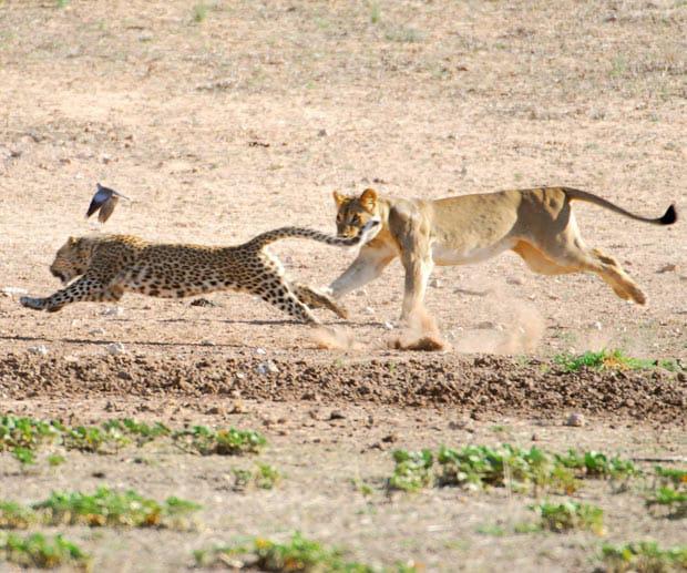 Sư tử đuổi theo báo hoa mai. Ảnh: Cắt từ video trong bài