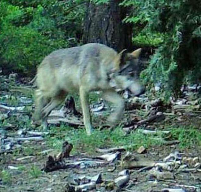 Theo giám đốc Misi Stine của trung tâm chó sói quốc tế, sói có thể đi chuyển từ 50 đến 100 dặm để tìm bạn tình và một vài con có thể đi nhiều hơn thế