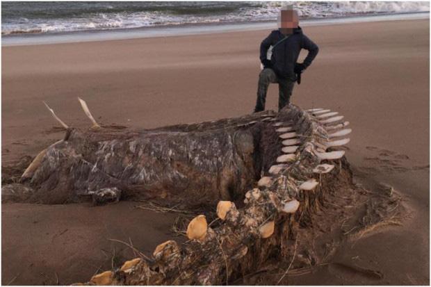 Bộ xương khổng lồ của sinh vật lạ trôi dạt vào bờ biển, nhiều dân bản xứ tin rằng đó là xác của quái vật hồ Loch Ness nổi tiếng - Ảnh 1.