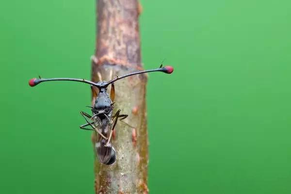 Ruồi cuống mắt: Loài vật sở hữu đôi mắt lồi bất thường nhất trong tự nhiên - Ảnh 2.