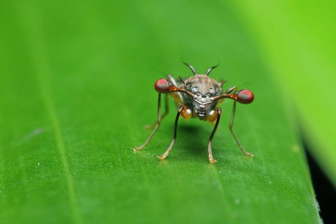 Ruồi cuống mắt: Loài vật sở hữu đôi mắt lồi bất thường nhất trong tự nhiên - Ảnh 12.