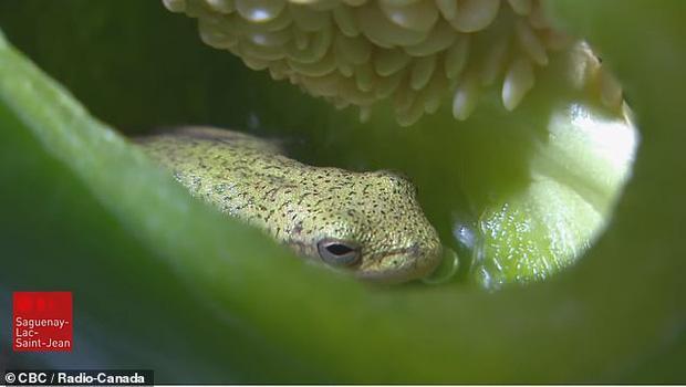 Ăn canh có sâu xưa rồi, 2 vợ chồng cắt quả ớt để làm bữa tối thì phát hiện cả một con ếch ngồi chễm chệ bên trong - Ảnh 3.