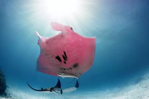Chuyện hi hữu triệu lần mới bắt gặp: Nhiếp ảnh gia may mắn chụp được chú cá đuối có màu hồng duy nhất trên thế giới - Ảnh 3.