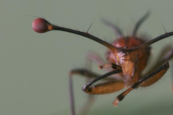 Ruồi cuống mắt: Loài vật sở hữu đôi mắt lồi bất thường nhất trong tự nhiên - Ảnh 4.