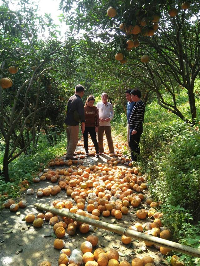 Cam rụng la liệt, Hà Giang lên kế hoạch giải cứu giúp nông dân - Ảnh 1.