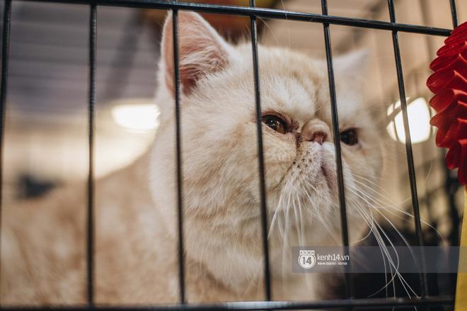 Đi thi mèo đẹp ở Hà Nội, các đại 'boss' để lại loạt khoảnh khắc cưng không đỡ nổi: Chảnh mèo là có thật! - ảnh 1