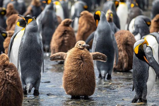 Hơn nửa triệu con chim cánh cụt hoàng đế lúc nha lúc nhúc tụ tập về lãnh địa phía nam Đại Tây Dương để bắt đầu mùa sinh sản - Ảnh 1.