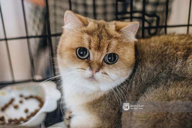 Đi thi mèo đẹp ở Hà Nội, các đại 'boss' để lại loạt khoảnh khắc cưng không đỡ nổi: Chảnh mèo là có thật! - ảnh 11