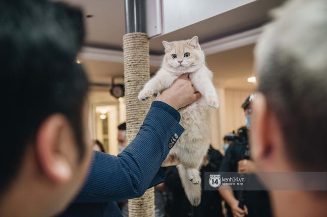 Đi thi mèo đẹp ở Hà Nội, các đại 'boss' để lại loạt khoảnh khắc cưng không đỡ nổi: Chảnh mèo là có thật! - ảnh 4