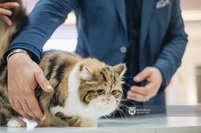 Đi thi mèo đẹp ở Hà Nội, các đại 'boss' để lại loạt khoảnh khắc cưng không đỡ nổi: Chảnh mèo là có thật! - ảnh 7
