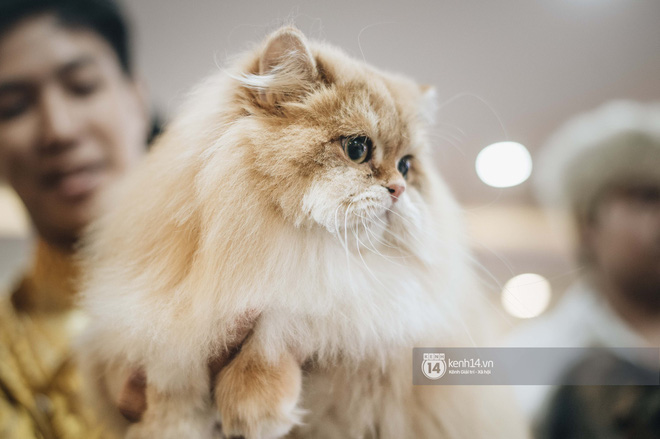 Đi thi mèo đẹp ở Hà Nội, các đại 'boss' để lại loạt khoảnh khắc cưng không đỡ nổi: Chảnh mèo là có thật! - ảnh 9